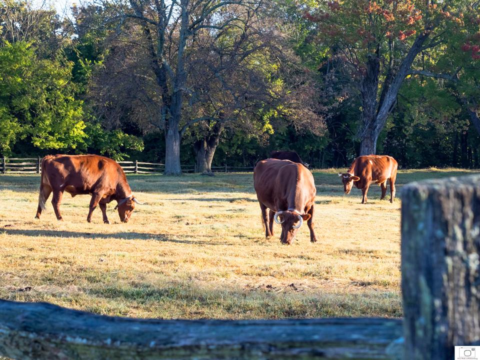 Oxen Grazing Near Francis Street - October 2015