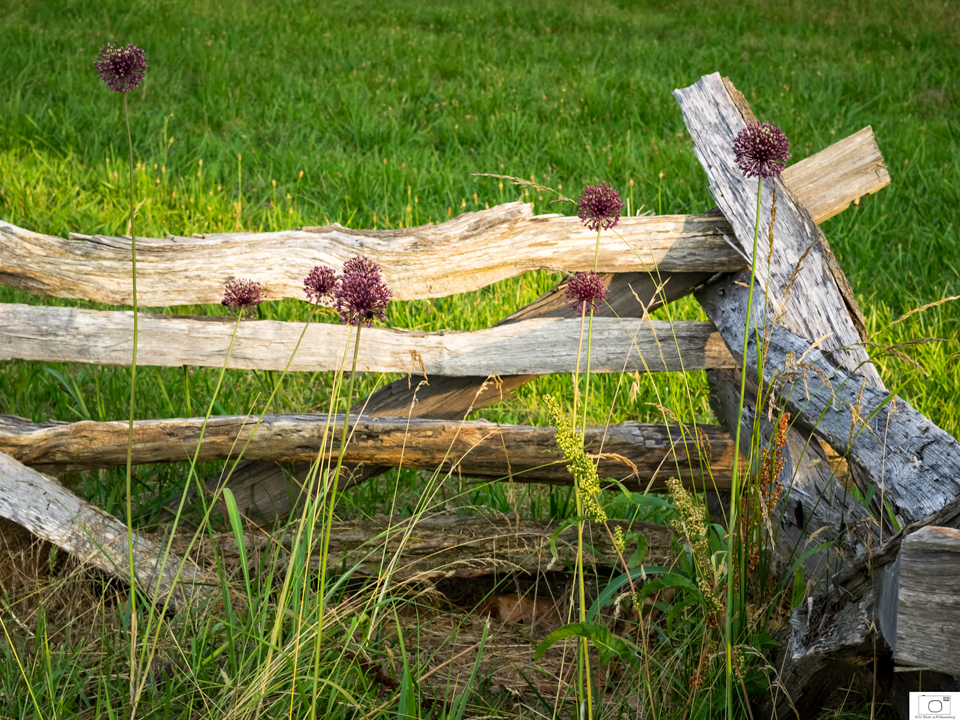 Yorktown Onion Near The Colonial Parkway - June 2015