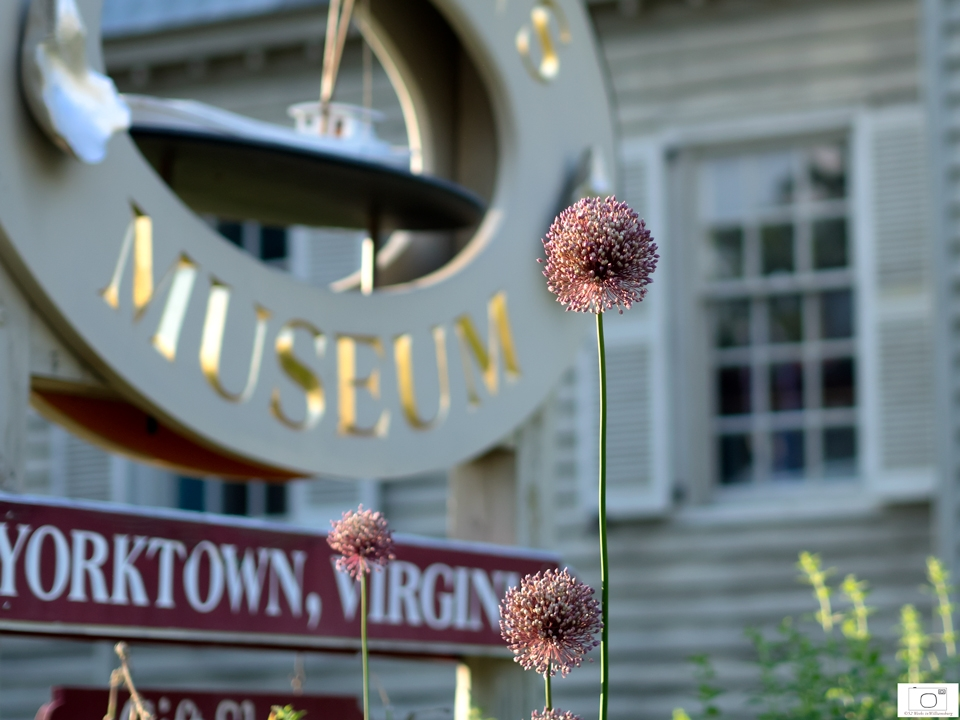 Yorktown Onion, A Protected Species, Grows Here - June 2015.