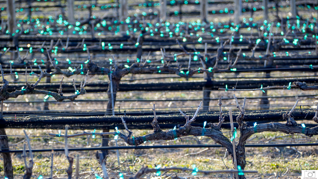 Vines Held In Place Ready To Grow - March 2016