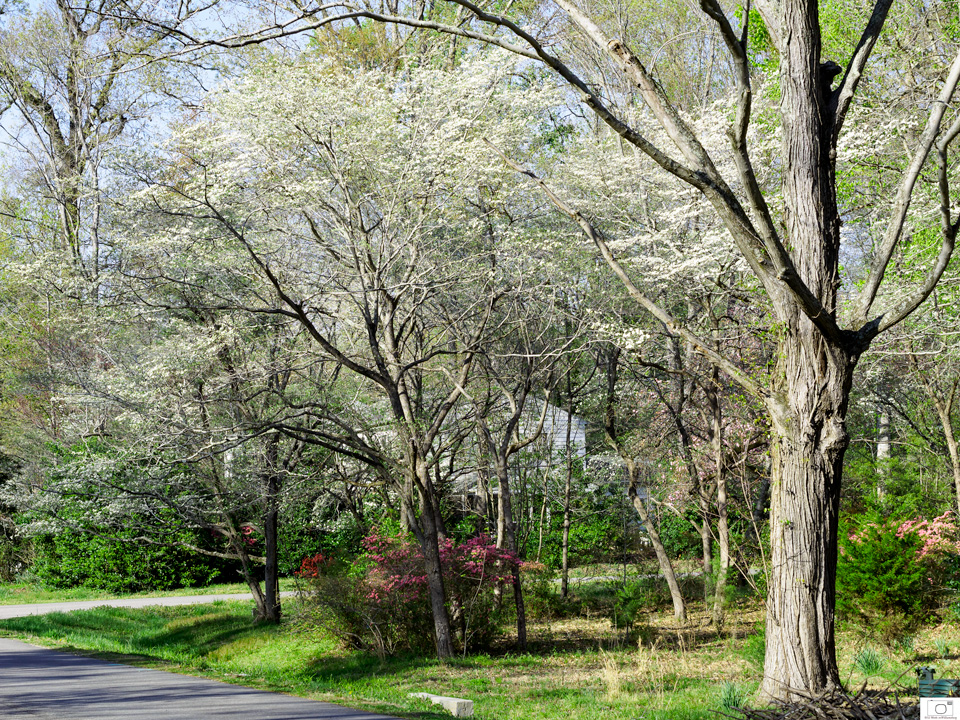 Dogwoods in Queens Lake - April 2016